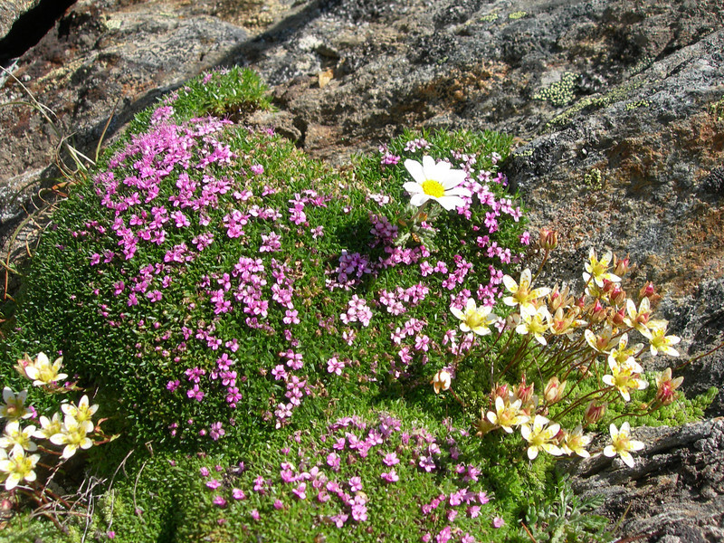 habitat with Silene acaulis, Saxifraga bryoides and Leucanthemopsis alpina (underneath Mischabelhutte 3340m. Mischabel)