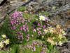 habitat with Silene acaulis, Saxifraga bryoides and Leucanthemopsis alpina (underneath Mischabelhutte 3340m. Mischabel)