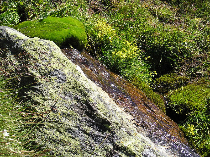 Saxifraga aizoides (Täschhütte)