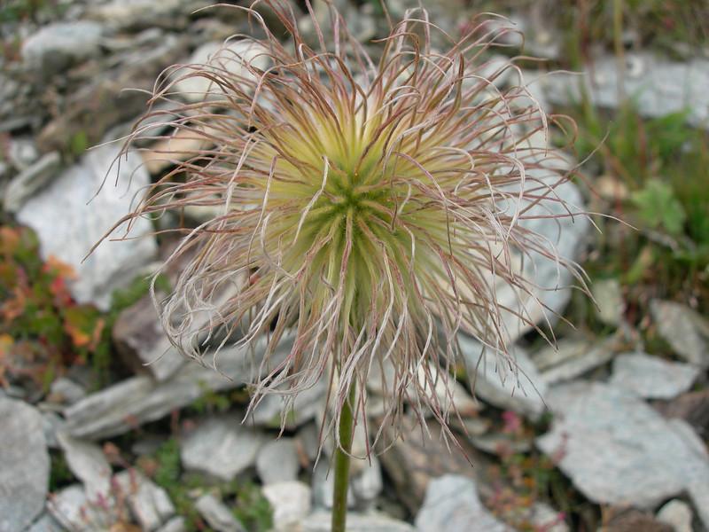 Pulsatilla spec. in seed