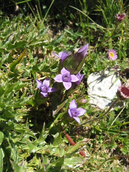 Gentiana campestris ssp. campestris