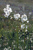 "Polemonium caeruleum ""Alba"" (Zermatt)"