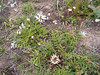 Carlina acaulis ssp. acaulis