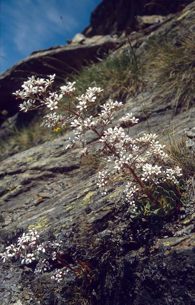 Saxifraga cotyledon (Mattmark see, Saas-tal)