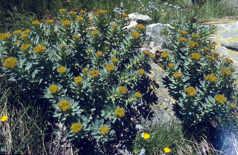 Rhodiola rosea (Mattmarksee)
