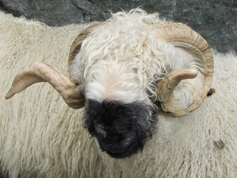 sheep near Chalbermatten 2105m