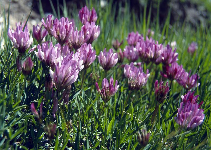 Trifolium alpinum (Mattmarksee)