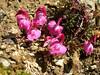 Pedicularis kerneri (near Hannig 2336m.Saas Fee.)