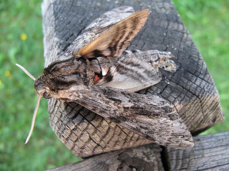 NL: kolibrievlinder