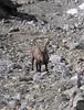 capra ibex (NL: steenbok)