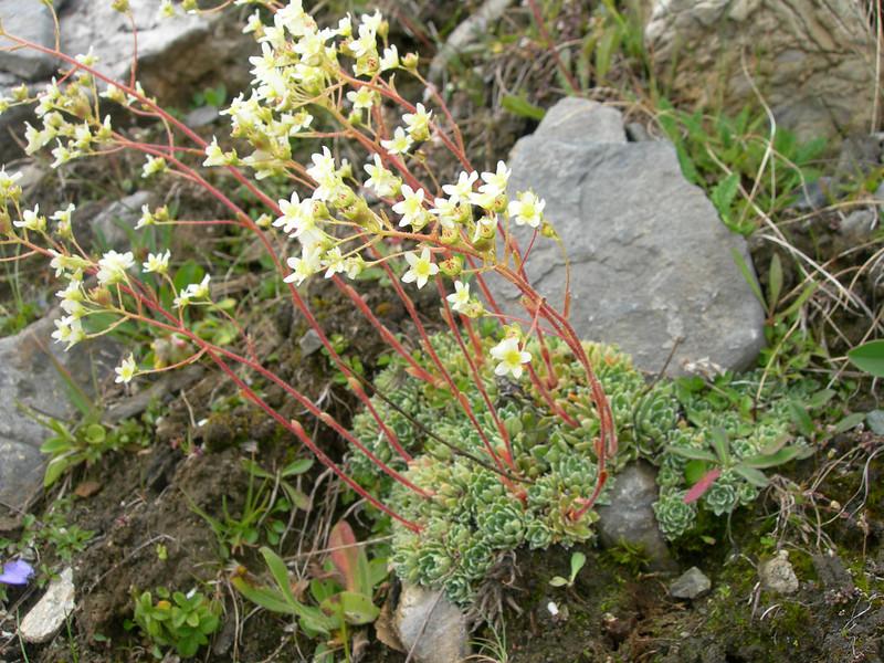 Saxifraga paniculata (near Arolla above 2000m.calcareous rocks)