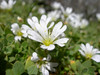 Cerastium uniflorum (near Bordierhutte 2886m Nadelgrat)