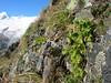 habitat of Primula hirsuta