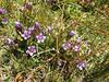 Gentiana ramosa (5 petals)