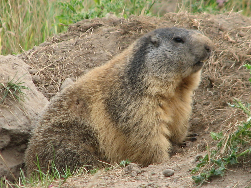 Marmota marmota (Murmeltier)