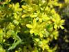 Saxifraga aizoides, close up