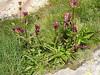 Gentiana purpurea (near Monte Rosa hutte 2795m.)