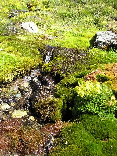 Saxifraga aizoides (near theTäschhütte)