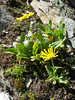 Doronicum clusii ssp. clusii (Arolla - Pas de Chevres 2855m.)