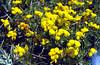 Lotus pedunculatus (Mattmarksee)