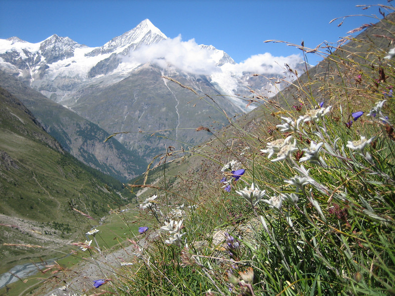 Leontopodium alpinum and in the background Zinalrothorn 4221m and Weisshorn 4505m.