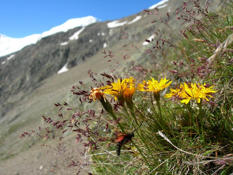 Hieracium spec. (near Hannig 2336m, Saas Fee, background Alphubel)