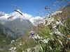 Leontopodium alpinum and Zinalrothorn 4221m. and Weisshorn 4505m.