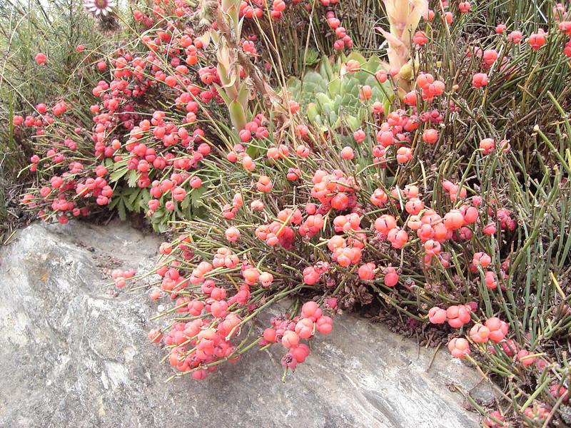 Ephedra helvetica and Sempervivum spec. (near castle Sion, Rhone valley)