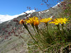 Hieracium spec. (near Hannig 2336m, Saas Fee, background Alphubel)