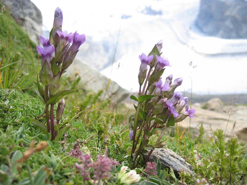 Gentiana campestris ssp. campestris (4 petals)
