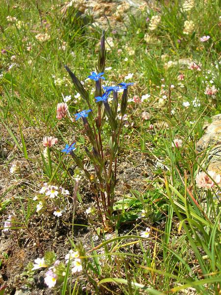 Gentiana utriculosa (near Hannig 2336m, Saas Fee)