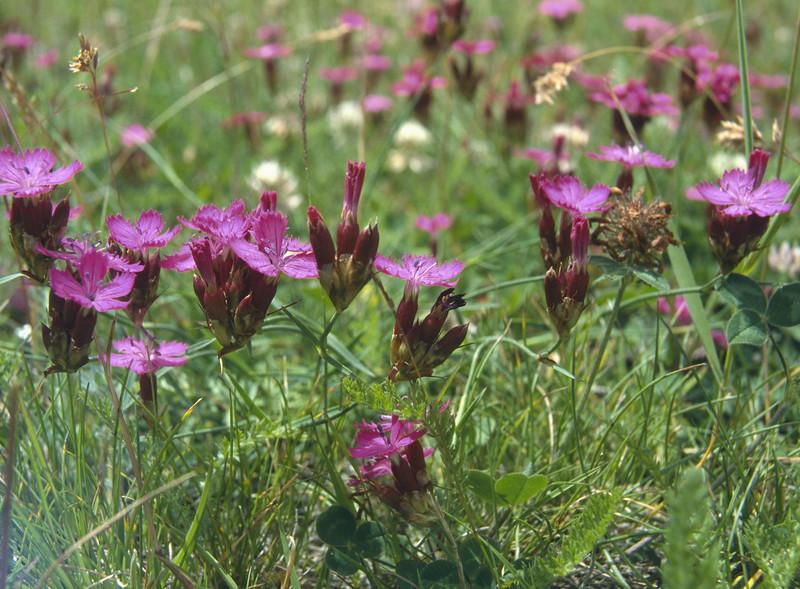 Dianthus carthusianorum (Zermatt)