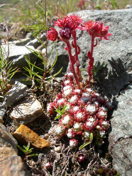 Sempervivum arachnodeum