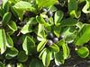 Rhamnus pumila in fruit