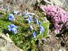 habitat with Silene acaulis and Eritrichium nanum (near Mischabelhutte 3340m, Mischabel group)
