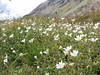 Cerastium uniflorum (near the Gornergrat 3135m.)