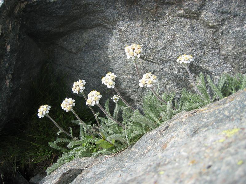 Achillea nana (near Monte Rosa hutte 2795m.)