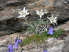 Leontopodium alpinum (near Arolla, above 2000m.calcareous rocks)