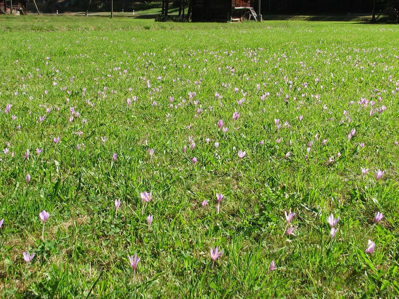 Colchicum alpinum
