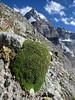 Silene acaulis, near the Matterhorn