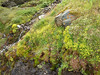 wet habitat of Saxifraga aizoides (near Cab. de Tracuit, Zinal, Val d' Anniviers)