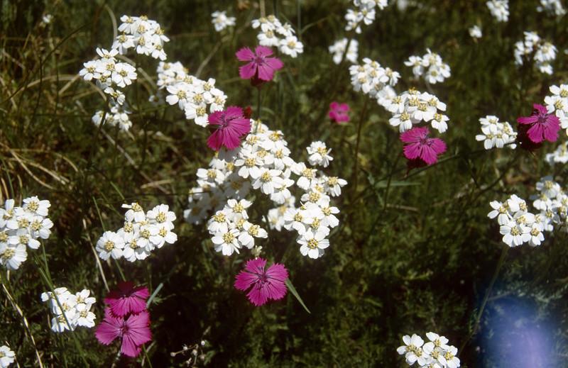 Dianthus carthusianorum and Achillera spec.