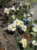 Leucanthemopsis alpina and Gentiana verna (underneath Mischabelhutte 3340m. Mischabel)