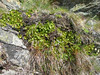 Primula hirsuta (after flowering,near Hannig 2336m. Mischabel)