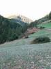 Colchicum alpinum (meadows near Zermatt)