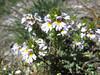 Euphrasia tricuspidata