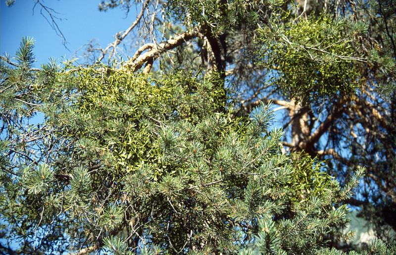 Viscum album in Pinus spec.