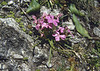 Dianthus glacialis