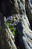 habitat with Phyteuma globulariifolium ssp. globulariifolium