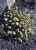 Saxifraga exarata ssp. moschata
